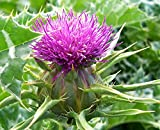 Milk Thistle Og 35 Seeds Lovely Flowers All Parts Edible They're Also Healthy