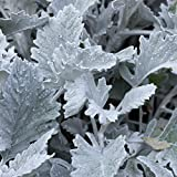 New Look Dusty Miller House Plant Seeds - 1000 Seeds - Annual Ornamental Decorative Garden Plant Seeds - Senecio Cineraria