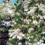 Weeping Japanese Snowbell Tree with Fragrant Flowers - Styrax japonicus 'Fragrant Fountains' 1 - Year Live Plant