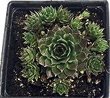 Sunset Hens & Chicks - Sempervivum - Very Hardy - Live Plant - Quart Pot
