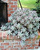 Ghost Plant, Graptopetalum paraguayense, Succulents, 4in potted plants