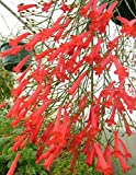Russelia Equisetiformis Rarely Offered Red Coral Firecracker Fern