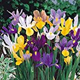 Iris, Bulb (20 Pack) Dutch Mix, Perennial Iris Bulbs, Flowers