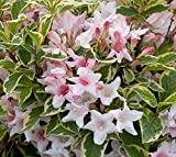 Variegated Dwarf Weigela - Live Plant - Quart Pot