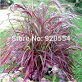 20pcs/lot Half-hardy Perennial Pennisetum setaceum 'Fireworks' Fountain Grass Seeds bonsai plant home garden free shipping