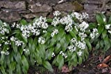 "Allium Ursinum ""Wood Garlic"" 20+ Fresh Seed"
