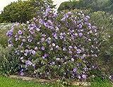 Alyogyne huegelii   Blue Hibiscus   20_Seeds