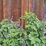 1 Perennial Starter of Salvia Mystic Spires - Blue. Beautiful Flower Spikes!