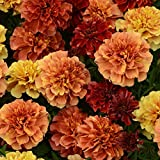Kings Seeds - Marigold - French Strawberry Blonde - 50 Seeds