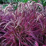 Half-Hardy Perennial Fountain Grass Pennisetum Setaceum Fireworks Seeds , 50 Seeds / Bag , Pennisetum Flowers And Seeds