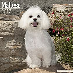 Maltese Calendar 2017 - Dog Breed Calendars - 2016 - 2017 wall calendars - 16 Month by Avonside