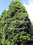 Calocedrus decurrens 10 Seeds Incense Cedar Tree Evergreen Rugged Bark Great for plant collectors Privacy screen or hedge Aromatic conifer