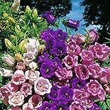 Bell Terry mixture Campanula Medium Flowers Seeds from Ukraine