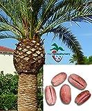 10 Canary Island Date Palm Tree Seeds