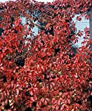 Red Wall TM Virginia Creeper - Parthenocissus - Proven Winner