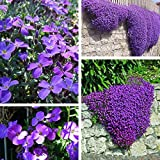 100pcs Purple Flower Aubrieta Hybrida Seeds Garden Perennial Ground Cover Plant / 100pcs Garden Purple Flower Aubrieta Hybrida Seeds . . Aubrieta hybria, also calls rock cress, is a perennial he