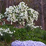 EXOCHORDA 'SNOW DAY BLIZZARD' - PEARL BUSH - PLANT - APPROX 8-12 INCH - DORMANT