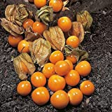 Cape Gooseberry Ground Cherry Seeds - hundreds of fruit on each plant. !!!!(50 - Seeds)
