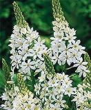 10 ORNITHOGALUM MAGNUM-Giant Starflower bulb-Spikes petaled, bell-shaped flowers