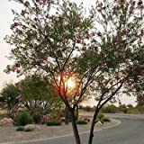 Desert Willow Tree Seeds (Chilopsis linearis) 30+Seeds
