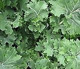Siberian Kale- Organic Heirloom Variety- 500+ 2019 Seeds by Ohio Heirloom Seeds