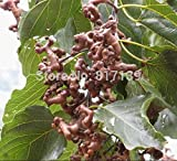 HOO PRODUCTS- Plant 30 Fresh Seeds Green Japanese Raisins Tree, Hovenia Dulcis, Hardy! Tree Fruit Semillas Seeds Brand New !