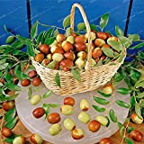 HOO PRODUCTS - 10 Red Jujube Seeds Delicious Nutrition Fruit Seeds Rare Exotic Bonsai Potted Gift Plant Decoration Home & Garden Hot Sale!