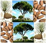 5 x ITALIAN STONE PINE Seed - Pinus pinea Tree Seeds - EDIBLE PINE NUTS - AKA Umbrella Pine - Zone 7-11 - By MySeeds.Co
