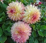 1 Root Dahlia Tubers~Myrtle's Folly~Giant Fuzzy Wuzzy Semi-Cactus Flowers Lg.Bulb Plant