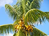 COCONUT (YELLOW) exotic plant palm tree Cocos Nucifera ready to pot ,1 live SEED