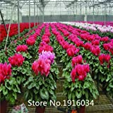 Hot Selling New Arrival 100pcs/pack cyclamen Seeds Perennial Flower Seeds Bonsai Seeds Garden Plant