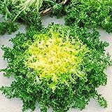 """500 Seeds, Endive""""Green Ruffec"""" Frisee Heirloom Seeds"""