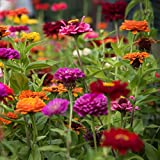 Dwarf Dahlia Brilliant Gems Mix - Miniature Dahlia Mix 6 Large Tubers Bloom This Summer - Perfect for Containers | Ships from Easy to Grow TM