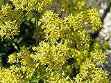 100 Isatis tinctoria Seeds,dyers woad, Natural Dye Seeds, DYERS WOAD tree Seeds