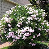 Pandorea Jasminoides - Bower Vine - 30 seeds