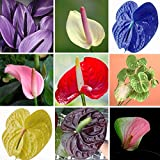 120 pcs Rare Flower Anthurium Seeds Balcony Potted Plant Anthurium Flower Seeds for DIY Home Garden