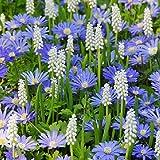 40 Bulbs of Anemone Blanda Blue and Muscari White |