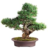 "Brussel's Live Japanese Five Needle Pine Specimen Outdoor Bonsai Tree - 40 Years Old; 13"" Tall with Decorative Container"