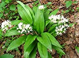 Organic Herb Seeds Ramsons Onions bear, Wild Garlic, Leek, Cheremsha, Allium ursinum