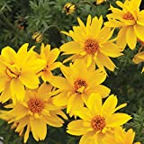 Kings Seeds - Bidens Gold Nuggets - 100 Seeds