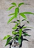 "24"" (or taller) Haden Mango Tree, Sweet, Smooth, and Popular!"