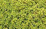 5 Bare Root of Thymus Pulegioides 'Archer's Gold'