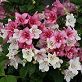 "Czechmark Trilogy Weigela - 4"" Pot - Proven Winners"