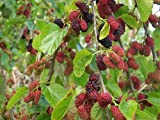 Red Mulberry Tree (Morus Rubra) 1-2 Feet Tall