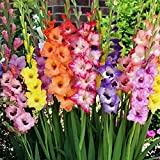 Gladiolus Flower Bulbs - Rainbow Mix - Bag of 20, Mid Summer/Mixed Colored Flowers