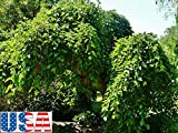 160 Seeds: USA Seller Weeping Mulberry 20-160 Seeds Heirloom Non-GMO (Ornamental Edible)