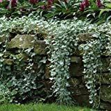 Outsidepride Dichondra Silver Falls Ground Cover Plant Seed - 15 Seeds