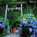 `200 pcs / bag, Hydrangea seeds, color mixture, Plumbago capensis