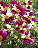 Smarty Collarette Flowered Dahlia - #1 Size Root Clump - Purple & White