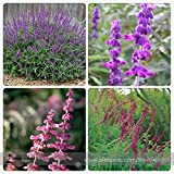 New Salvia Leucantha Imported Mexican Bush Sage Pink Flower 30+ Seeds
